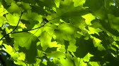живой : 4K TV Demo - Bright green Sugar Maple (Acer Saccharum) leaves moving slowly in the wind with sun and shadow  Стоковые видеозаписи