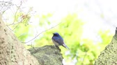muscicapidae : Japanese Flycatcher on a tree Blue-and-white Flycatcher (Cyanoptila cyanomelana) (Japanese Flycatcher) standing on a large tree branch with bright green leaf in the background. Jeju, South Korea Stock Footage