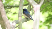 muscicapidae : Blue-and-White Flycatcher in a tree Blue-and-white Flycatcher (Cyanoptila cyanomelana) standing on a branch and turning its head on a green leaves background in the wind. Jeju, South Korea Stock Footage