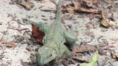 ještěrka : Domincian Ground Lizard walking on the beach Dominican Ground Lizard (Ameiva fuscata) walking and stepping on dead leaves and a sandy beach. Punta Cana, Dominican Republic