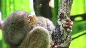 macaco : Philippines Tarsier opening its eyes wide Philippines Tarsier (Tarsius Syrichta) grabbing onto a tree and opening its eyes wide open with green background. Corella, Philippines