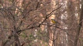 вещь : 4K UHD 60fps - Magnolia Warbler (Setophaga magnolia) jumping through branches