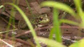 жаба : 4K UHD 60fps - Green Frog (Lithobates clamitans) sitting in water and moving belly while breathing