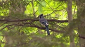 вещь : 4K UHD 60fps - Blue Jay (Cyanocitta cristata) taking off from a branch in bright green forest
