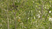 вещь : 4K UHD 60fps - American yellow warbler (Setophaga petechia) male spooking off another male Стоковые видеозаписи