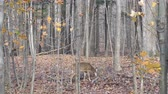 вещь : Deer munching on leaves in the forest with two blujays in the background Стоковые видеозаписи