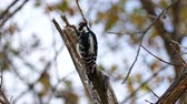 вещь : Downy Woodpecker (Picoides pubescens) pecking on branch and catching a larva