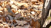 kürk : Chipmunk jumping in dead autumn leaves and fleeing away Stok Video