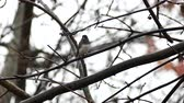 вещь : Dark-Eyed Junco (Junco hyemalis) perched on branch and taking flight