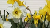 jonquil : Narcissus flowers in the garden Stock Footage