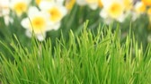 jonquil : Green grass and Narcissus background out of focus