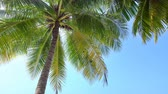 bahamské ostrovy : Tropical view with top of coconut palm tree on blue sky background