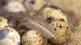джут : Uncooked quail eggs and bird quills on burlap cloth. Rotating and closeup