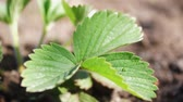 morango : Strawberry leaf at the garden Stock Footage