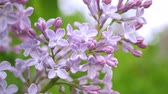 Branch of blossoming lilac Stock Footage
