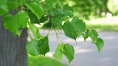 Oak tree leaf at the park Stock Footage
