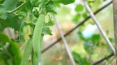 erwt : Ripe green pea grow at the garden