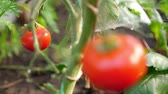 horticultura : Red tomato grow in hothouse, closeup