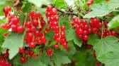ribizli : Red currant at the garden