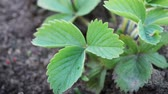 Strawberry green leaves at the garden