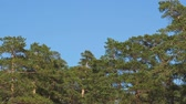 Pine trees on blue sky background