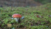 поганка : Fly agaric growing in the forest