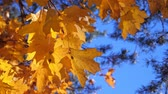 октябрь : Yellow fall maple leaves on trees at the park Стоковые видеозаписи