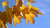 oktober : Yellow fall maple leaves on trees at the park Stock Footage