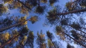 Top of pine trees in the forest Stock Footage