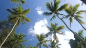 fruta tropical : Top of coconut palm trees with blue sky background Vídeos