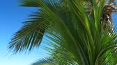 dominicana : Palm tree on blue sky background Archivo de Video