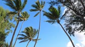 Багамские острова : Top of coconut palm trees on blue sky background Стоковые видеозаписи