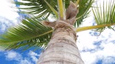 pupa : View from bottom on top of coconut palm tree with sky and clouds Wideo