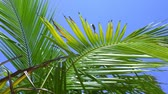 カリブ海 : Top of coconut palm trees with blue sky background 動画素材
