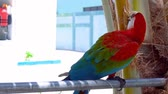 ара : Colorful parrot looking at camera