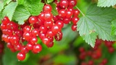 red currant : Red currant at the garden