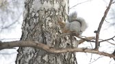 Squirrel sitting on the branch of a tree in a city Park and eats nuts Stok Video