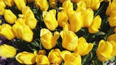tulipa : beauty yellow tulip flowers field moving along the wind on spring season footage background.