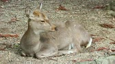 szafari : Japanese wild friendly cute deer sitting and resting at Nara national public park footage. Stock mozgókép