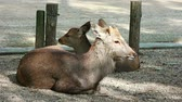 kansai : Japanese wild friendly cute deer sitting and resting at Nara national public park footage. Stock Footage
