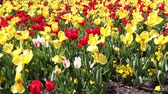 pennsylvania : Red and yellow tulips on a sunny day in Philadelphia