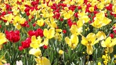 тюльпаны : Red and yellow tulips on a sunny day in Philadelphia - Pan and Zoom