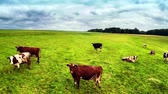 herb : Flying over green field with grazing cows Stock Footage