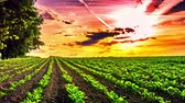 organic : Beautiful sunset over agricultural field with sugar beet. Slider shot, full HD, 1080p