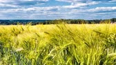 pasture : Agricultural landscape with wheat field. Timelapse, slider shot. Full HD, 1080p