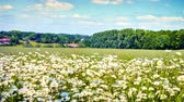 background : Country landscape with wild daisies. 4K, Ultra High Definition, Ultra HD, UHD, 2160P, 3840 x 2160 Stock Footage