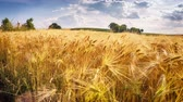 organic : Golden wheat field at sunny day. Full HD, 1080p