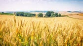 golden : Golden wheat field at sunny day. Full HD, 1080p
