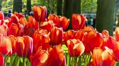 red : Beautiful spring park covered by red tulips. Full HD, 1080p Stock Footage