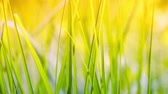 weather : Green grass closeup. Nature background. Full HD, 1080p